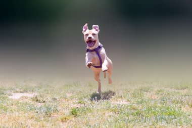 Happy American pit bull terrier running.