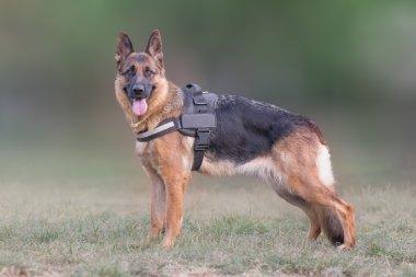 wolf dog (German shepherd) portrait.