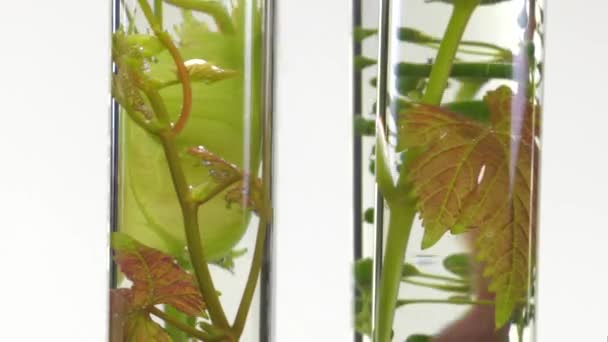 young vine shoots in test tubes turning