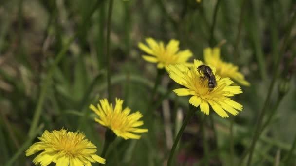 Včela, sedá na Pampeliška květin