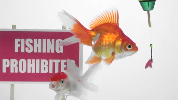 Goldfish eating bait in front of a panel Fishing prohibited
