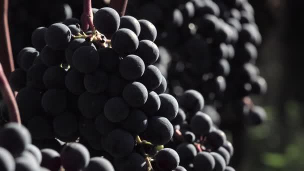 Uva rossa pronti per essere raccolti