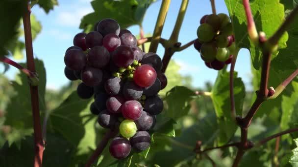 Uva rossa che non hanno maturato