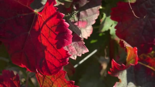 vine leaves in autumn colors