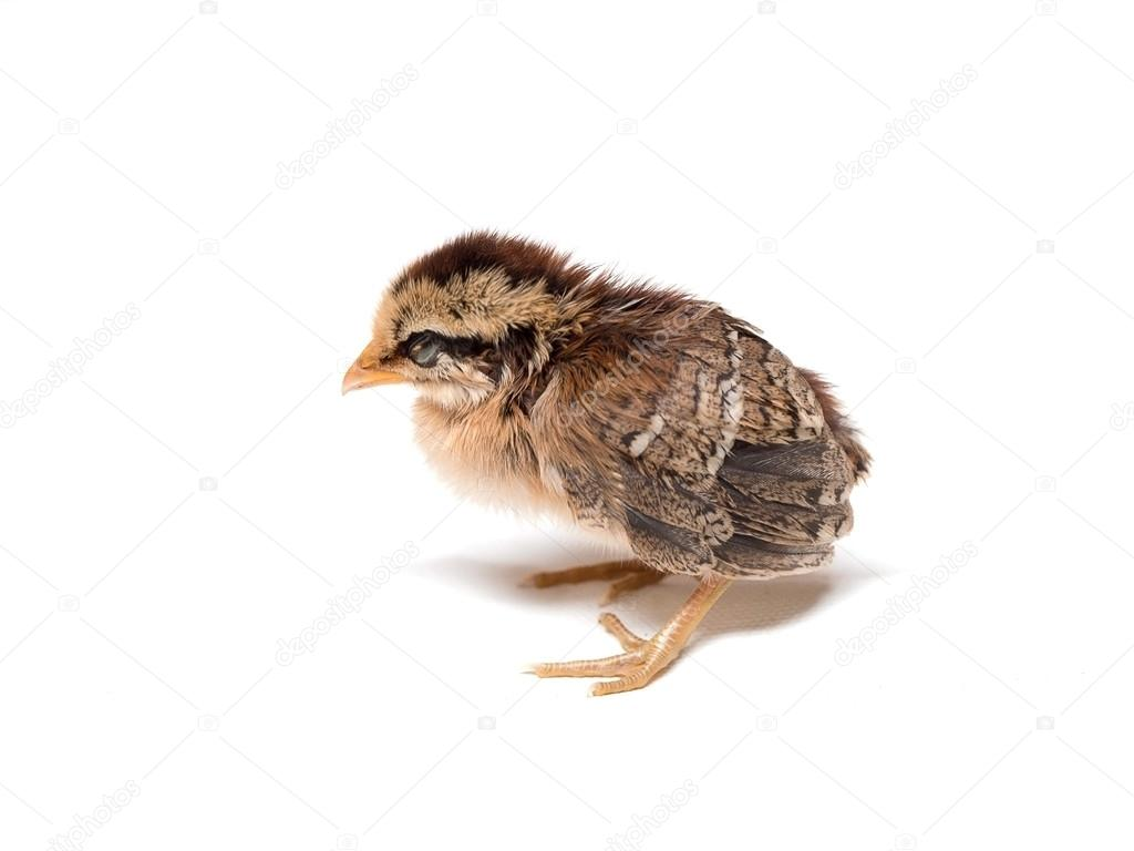 Chick Little Cute Chick On White Background Soft Focus