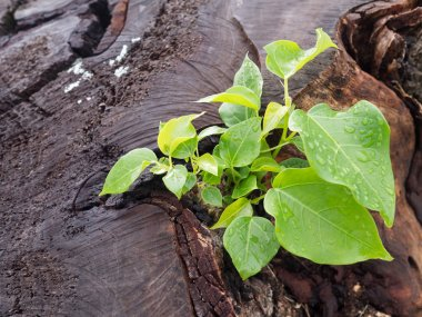 Little green growing from tree stump and water drops on leaves. Concept of new development and renewal business