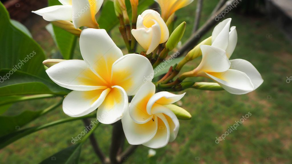white and yellow Plumeria spp. (frangipani flowers, Frangipani, Pagoda tree or Temple tree) on tree in natural light background