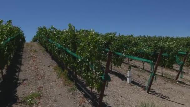 Steadicam Grape fields and vineyards .