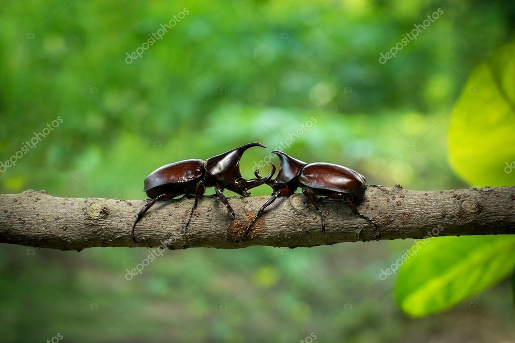 Rhinoceros beetle