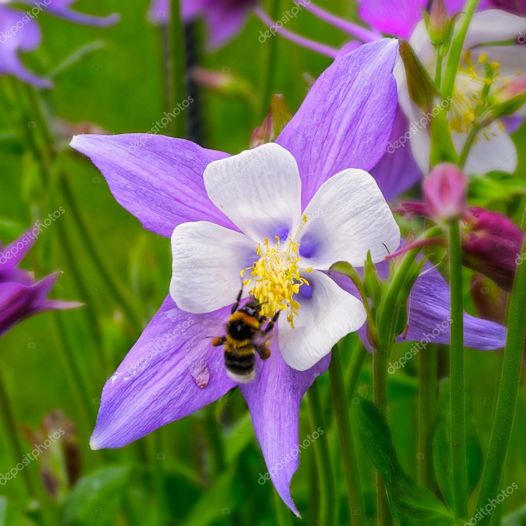 Columbine Flower Stock Photo Igor Spb 77184249