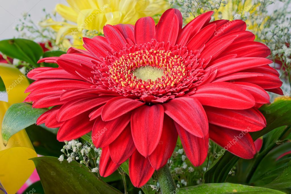 flor de gerbera fotos de stock igor spb 77768380