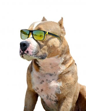a dog in sunglasses
