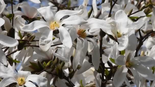 Bílé květy magnólie ve větru, zblízka