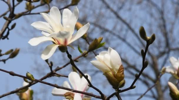 Bílá magnolia květ zblízka
