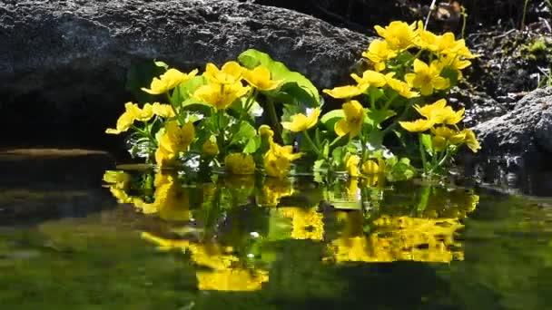 Žlutá Blatouch květiny ve vodě rybníka a reflexe