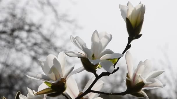 Bílá strana květy magnólie přes bílý, zblízka