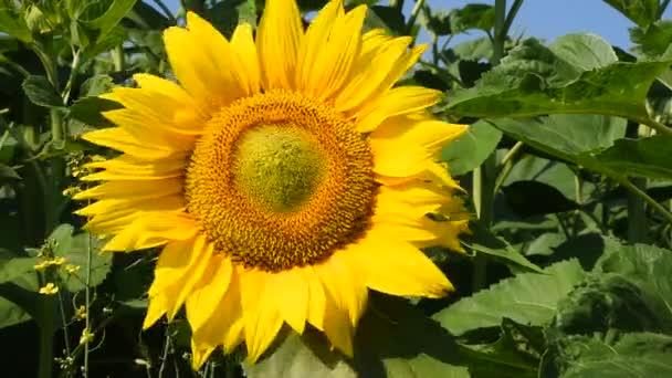 Jedno žluté slunečnice přes zelené pupeny zblízka