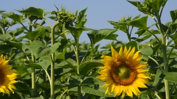 Jedno žluté slunečnice zelené pupeny a modrá obloha