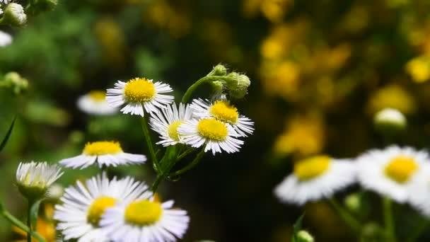 Wilde Wiese Kamillenblüten in Wind über grün