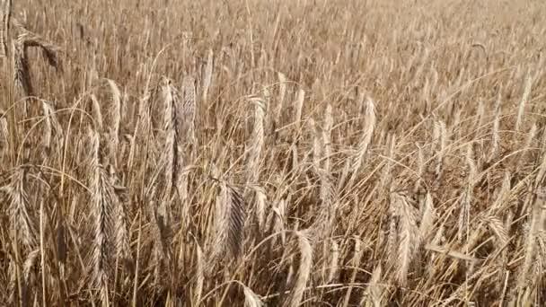 Wheat field shaking trembling in the wind