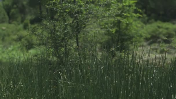 Slow motion grass waving on wind