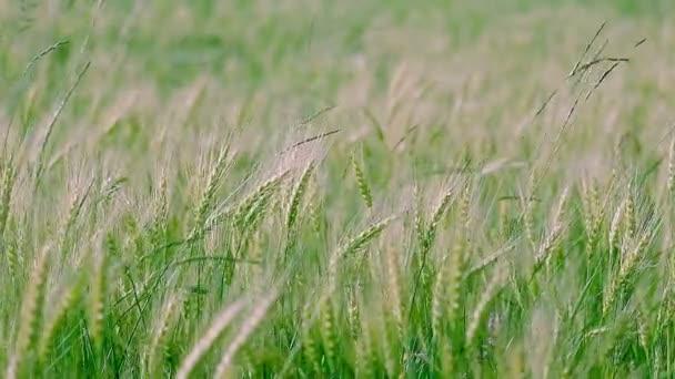 Zelené pozadí uši pšenice.