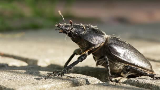 Large black beetle stag.