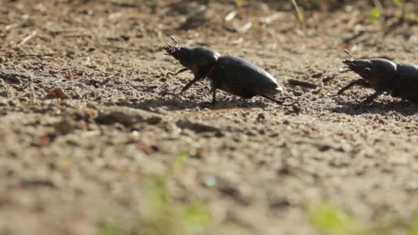 Two stag beetle in the wild nature.
