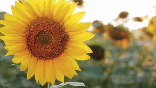 květu slunečnice s včely
