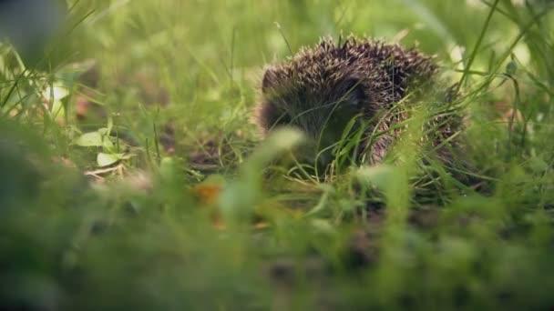 Peeping for cute hedgehog in green grass