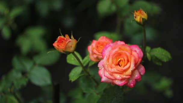 Wet roses in garden