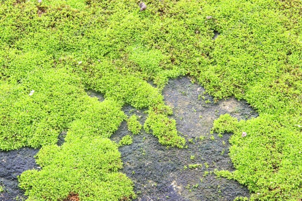 Moss texture, background