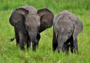 Baby African Elephants in Kenya