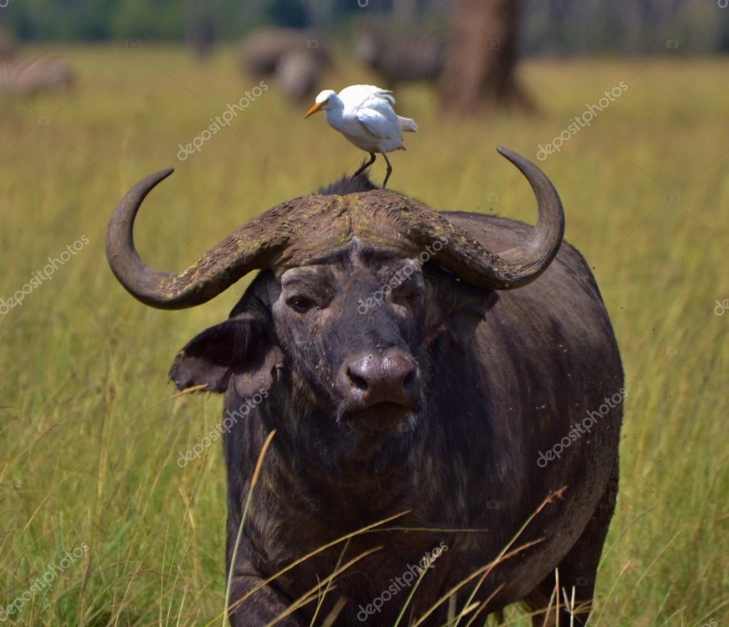 Cape Buffalo and Egret