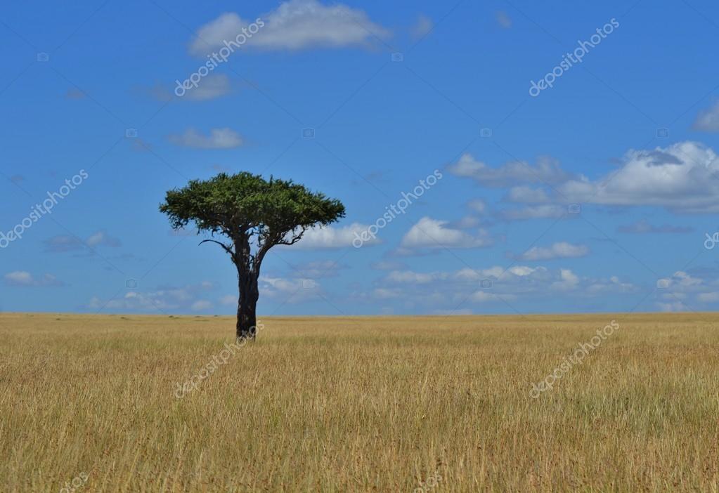 Singolo albero di acacia della savana foto stock for Acacia albero
