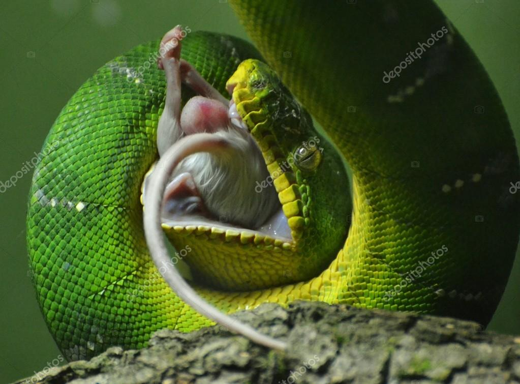 Green Tree Python Eating a Mouse
