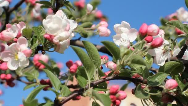 Kvetoucí strom za jasného slunečního světla. Bílá růžové květy na stromech na jaře