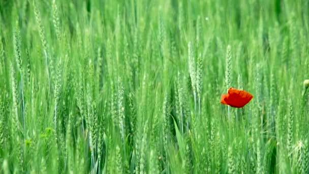 pšeničné pole s máky