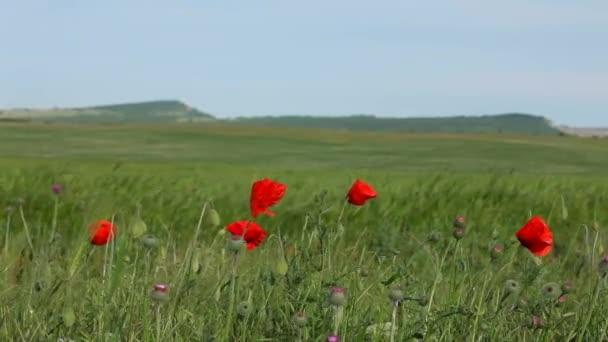 Na zelené pole málo červené Vlčí máky