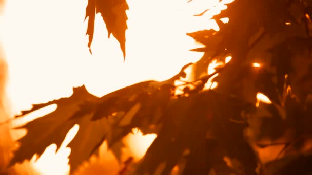 Podzimní větve a listí Javor klen