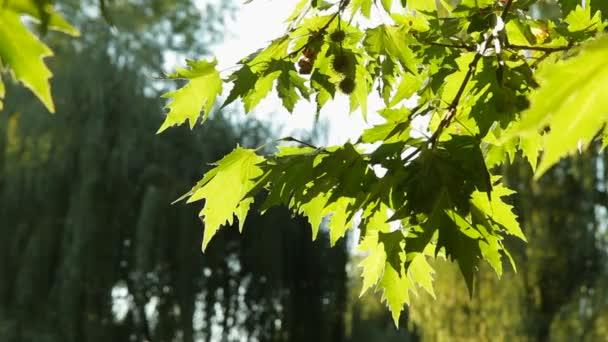 Semena a listy Platan