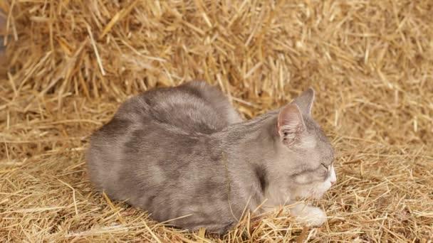 Macska alszik az istállóban széna.