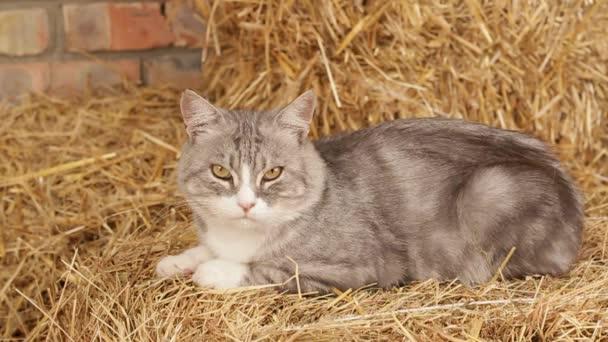 Ne Hhungry kočka v seně v hangáru.
