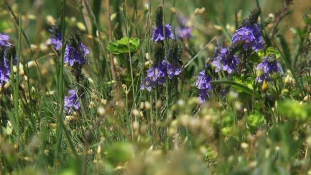 pole s fialové květy