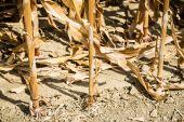 kukuřičné pole zblízka