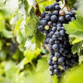 Fényképek Piros szőlőfürtök