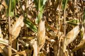 Fotografie kukuřičné pole zblízka