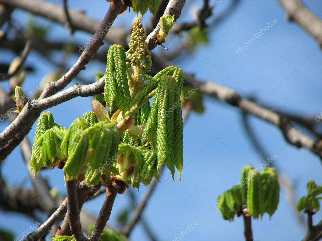 Leaves of chestnut tree, blossoming from bud, spring