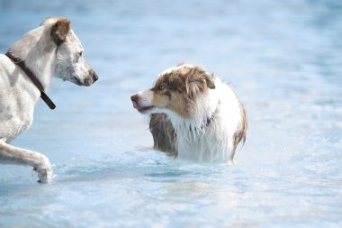 Two dogs in a swimming pool