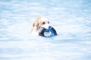 Dog, Border Collie, swimming and holding a toy
